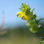 Die schönen Blüten des Klappertopf   -                             Foto: W. Ewert