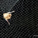 im Netz, Mückenfledermaus  Foto: W. Ewert
