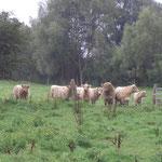 Die Galloway-Rinder