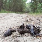 Auch das war ein Wolf  -  Foto: Wolfgang Ewert