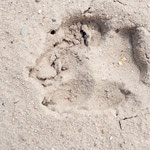 Wolfsspur 3 - Foto: Wolfgang Ewert