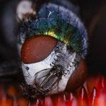 Fliege in Blume mit Laowa 25mm 2.8 mit 5x mit Blende 8 und 1/60s Belichtung (15 Einzelaufnahmen)