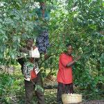 現地の人たちがコーヒーの実を収穫している様子。