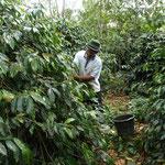 インドネシア コーヒー農園で働く人。
