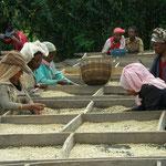 生豆を乾燥している風景。