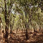 エチオピア イルガチャフィ地域のコーヒーの木。