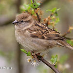 Frau Haussperling - Mrs. House Sparrow