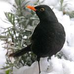 Herr Amsel im Schnee