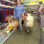 Komondor loose lead walking in a loud pet shop.