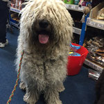 Komondor remaining handler focused in a busy store environment.