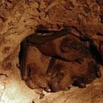 Colonie de Noctule commune dans un tronc creux (Photo LPO)