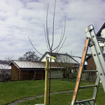 Apfelbaum vor Pflanzschnitt