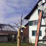 Apfelbaum nach Pflanzschnitt