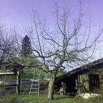 Stark wachsender Apfelbaum, der möglichst minim ausgelichtet wurde.