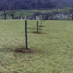 Neupflanzung Streuobstwiese mit Stammschutz