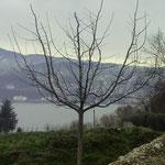 Apfelbaum Spartan mit formierter Oeschberger-Krone