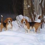 Зима - радость для биглей. Бонита, Элла и Дарий.