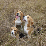 Трио биглей. Дарий, Бонита и Элла