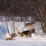 Снежные собаки. Дарий, Элла и Бонита