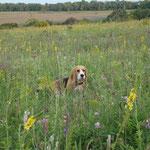 Соня - полевой цветочек