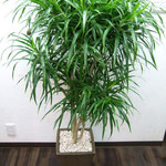 お祝い観葉植物