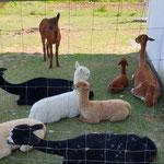Unsere Alpakas fanden es ganz entspannend!!!