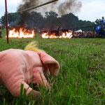 Schweinchen Bente bei spektakulären Ritter-Spielen