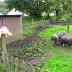 Schweinchen Bente bei leibhaftigen Antoniusschweinen
