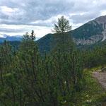 Der Weg führt durch eine dicht bewachsene Latschenzone.