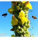 Bienen beim Anflug zu den Blüten einer Königskerze.