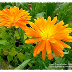 Ringelblumen im Garten an einem sonnigen Tag pflücken.