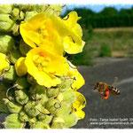 Biene mit Blütenpollen.
