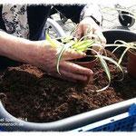 Gartentherapie - Topfen von Grünlilien