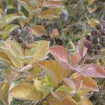 ハマゴウの実は少しつぶすと芳香剤の匂いがします。