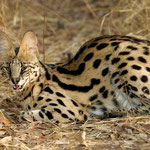 Serval - Shimba Hills