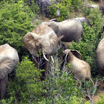 Herd of elephants -  - Shimba Hills