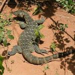 Nile Monitor Lizard - Shimba Hills