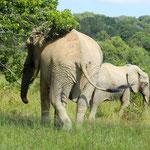 Elephants - Shimba Hills