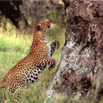 Leopard - Shimba HillsServal