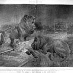 Leonessa ferita e leoni sulla strada ferrata Uganda Railway.