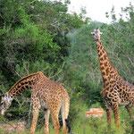 Giraffes - Shimba Hills