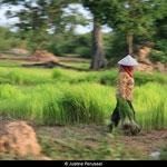 Les rizières permettent à de nombreux paysans de pouvoir vivre décemment.