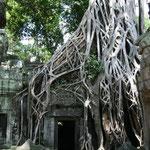 Les majestueux arbres strangulateurs des Temples d'Angkor. Parfaite symbiose esthétique entre les ruines et les arbres de la forêt (appelés arbres fromagers).