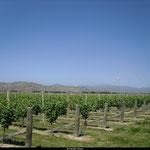 Vignes de Blenheim, île du sud
