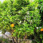 Blühender Orangenbaum, Valencia Late