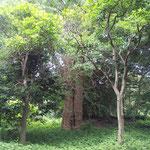 統合で廃校になった旧泉津小学校をスタートしてまもなく大きなイチョウの木。