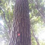 海岸は黒松、山にあるのが赤松、マツタケは赤松。皮の割れ目が深いのは木が元気な印だそうです。