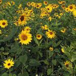 OKTOBER 2015 - Goldener Herbst- Sonnenblumen