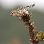 マヒワ幼鳥