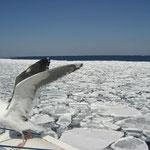 オオセグロカモメ